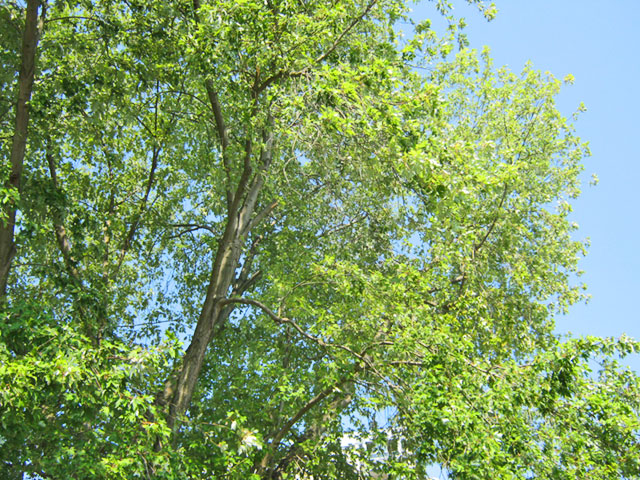 die Baumkorne eines saftig grünen Baumes und ein Stück strahlend blauen Himmels ist zu sehen