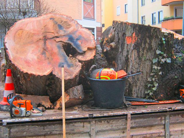 dicke Baumstümpfe, gefällt, in Stücke geschnitten auf einem Laster liegend da